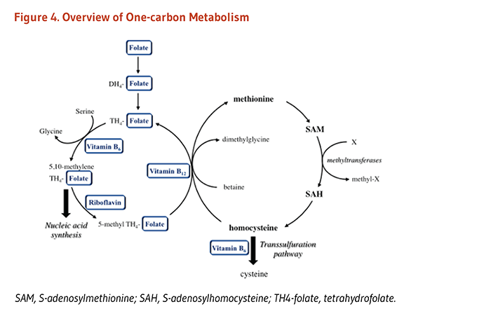 Figure 4. Overview of One-Carbon Metabolism. Methionine is an essential amino acid and precursor of S-adenosylmethionine (SAM), the universal methyl donor for most methylation reactions, including the methylation of DNA, RNA, proteins, and phospholipids. SAM is converted to S-adenosylhomocysteine (SAH) and then to homocysteine, which can be metabolized to cysteine via the vitamin-B6 dependent transsulfuration pathyway. Homocysteine can be converted to methionine with an enzyme that requires 5-methyl-tetrahydrfolate and vitamin B12.