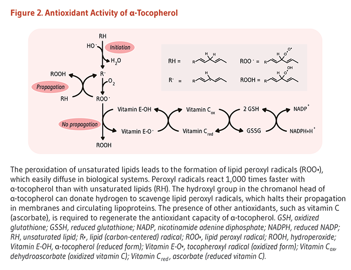 Figure 2. Antioxidant Activity of Alpha-Tocopherol. The peroxidation of unsaturated lipids leads to the formation of lipid peroxyl radicals (ROO.) which easily diffuse in biological systems. Peroxyl radicals react 1000-times faster with alpha-tocopherol than with unsaturated lipids (RH). The hydroxyl group in the chromanol head of alpha-tocopherol can donate hydrogen to scavenge lipid peroxyl radicals which halts their propagation in membranes and circulating lipoproteins. The presence of other antioxidants, such as vitamin C (ascorbate), is required to regenerate the antioxidant capacity of alpha-tocopherol. GSH, oxidized glutathione; GSSH, reduced glutathione; NADP, nicotinamide adenine diphosphate; NADPH, reduced NADP; RH, unsaturated lipid; R., lipid (carbon-centered) radical; ROO., lipid peroxyl radical; ROOH, hydroperoxide; Vitamin E-OH, alpha-tocopherol (reduced form); Vitamin E-O., tocopheroxyl radical (oxidized form); Vitamin Cox, dehydroascorbate (oxidized vitamin C); Vitamin Cred, ascorbate (reduced vitamin C).